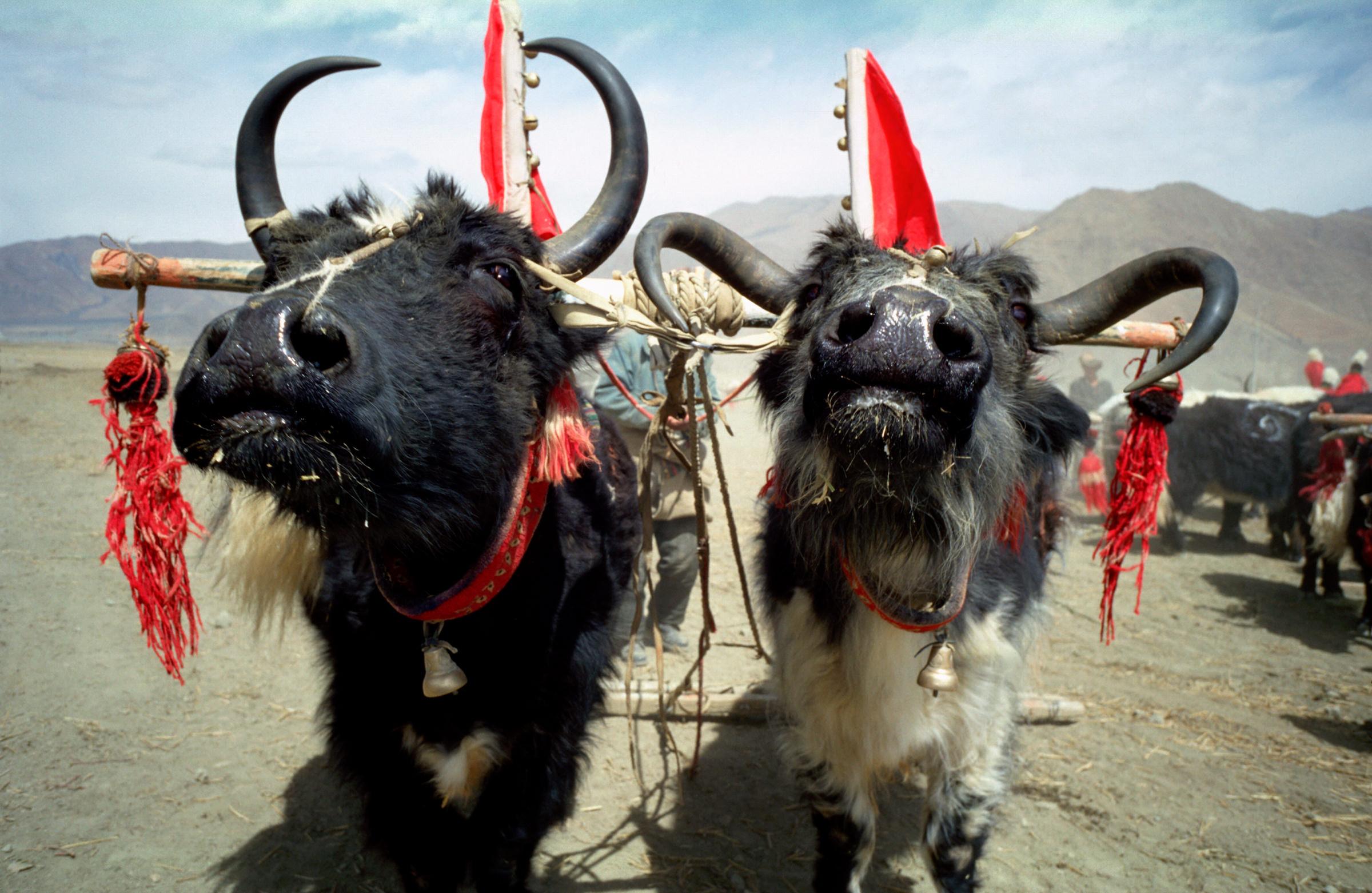 Jacks in Tibet